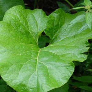 лист лопуха